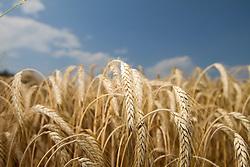 13.07.2010, Weizen, im Bild ein Weizenfeld bei blauem Himmel mit leichten Wolken, EXPA Pictures © 2010, PhotoCredit: EXPA/ Erwin Scheriau