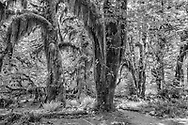 Trees with Moss, Trail, Hoh Rainforest, Olympic National Park, Washington