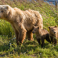 Brown Bear Family, Katmai N.P., Alaska