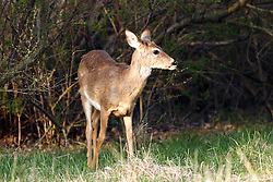 09 April 2005:   A white tailed deer stand-in some tall grass behind some scrub bushes attempting to remain invisible and intently watching as it is watched.