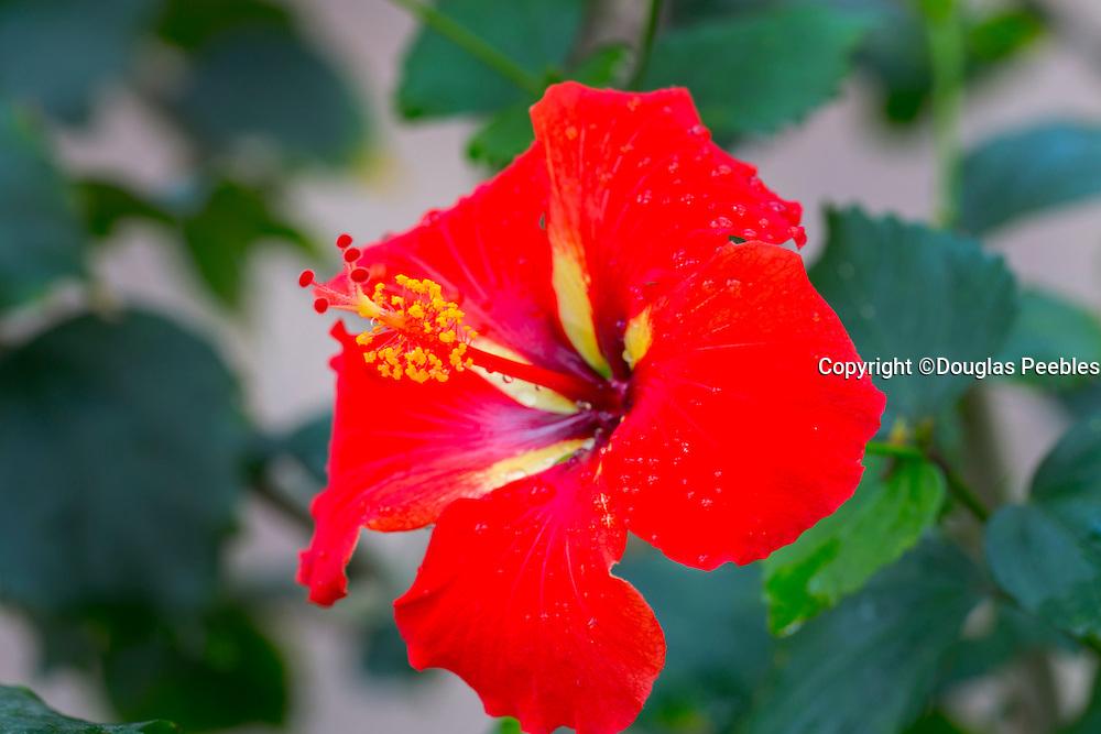 Red Hibicus Flower, Hawaii