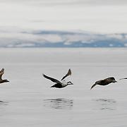 Common Eider in flight. Svalbard, Norway