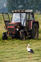 White stork, Ciconia ciconia, Slovakia.