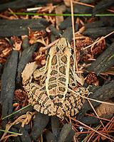 Pickeral Frog (Lithobates palustris). Image taken with a Nikon 1 V3 camera and 70-300 mm VR lens (ISO 800, 300 mm, f/5.6, 1/50 sec)