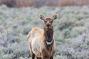 Cow elk wearing a radio telemetry collar and ear tags.