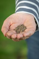 Handful of beetroot seed - Beta vulgaris - ready to sow