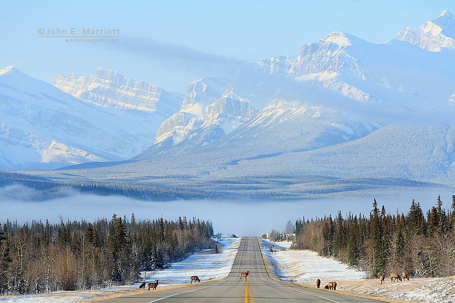 Herd of cow elk on the David Thompson Highway (Hwy 11), spring in the Canadian Rockies, Alberta, Canada