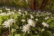 Wild garlic (Allium ursinum) and bluebells (Hyacinthoides non-scripta) in woodland. Surrey, UK.