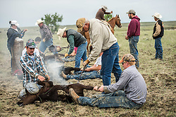 """Family and friends brand calves on the Oxarart Ranch near Malta, Montana on June 2, 2013. The Oxarart Ranch is part of an innovative grass bank project that allows ranchers to graze their cattle at discounted rates on Nature Conservancy land in exchange for improving conservation practices on their own """"home"""" ranches. In 2002, the <br /> Conservancy began leasing parts of the ranch to neighboring ranchers who were suffering from several years of severe drought essentially offering the Matador's grass to neighboring ranches in exchange for their  participation in conservation efforts. Thirteen ranchers graze their cattle on the Matador and the grassbank has enabled TNC to leverage conservation on more than 225,000 additional acres of private land without the cost of purchase of the land or of easements. (Photo By Ami Vitale)"""