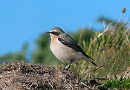 Northern Wheatear - Oenanthe oenanthe