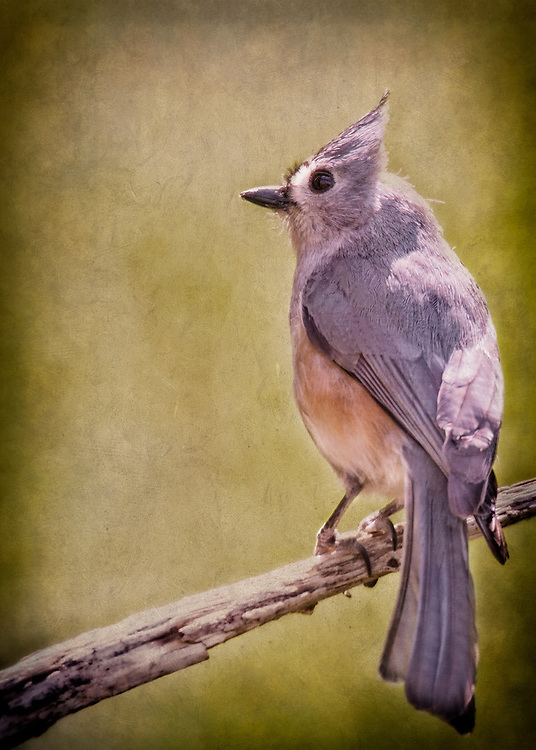 A Titmouse From Behind On A Tree Branch With A Green Backdrop