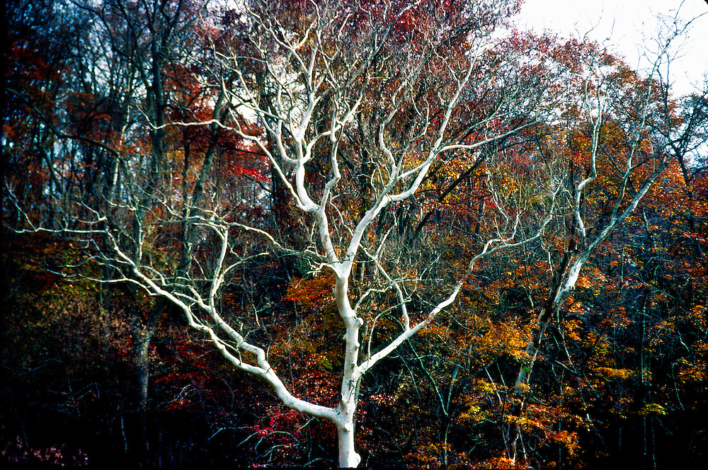 Smooth white trunk and branches of a sycamore in late fall trace a drawing against the darkly red and orange colors of autumn foliage.