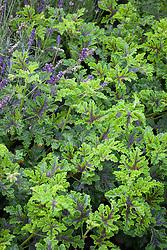 Pelargonium quercifolium syn. 'Royal Oak'. Oak leaved geranium