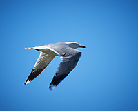 California Gull in flight. Point Arena, Pacific Coast Highway. Image taken with a Nikon D3 camera and 80-400 mm VR lens.