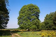 Europa, Deutschland, Nordrhein-Westfalen, Troisdorf, Eiche auf dem Busenberg in der Wahner Heide, bluehender Ginster. - <br /> <br /> Europe, Germany, Troisdorf, North Rhine-Westphalia, oak tree on the Busenberg hill in the Wahner Heath, blooming genista.
