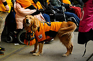 A golden retriever dog wearing a Wolves shirt during the The FA Cup 5th round match between Bristol City and Wolverhampton Wanderers at Ashton Gate, Bristol, England on 17 February 2019.