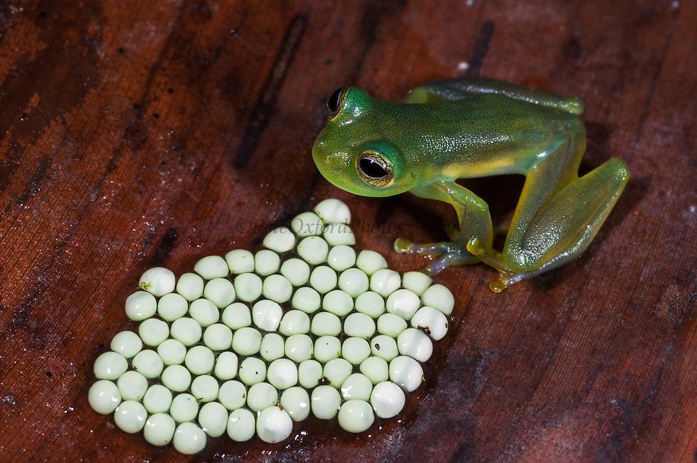 Spiny Cochran Glass Frog with Eggs (Teratohyla spinosa) <br /> Chocó Region of NW ECUADOR. South America<br /> HABITAT & RANGE: Vegetation along streams. Colombia, Costa Rica, Ecuador, Honduras, Nicaragua, Panama