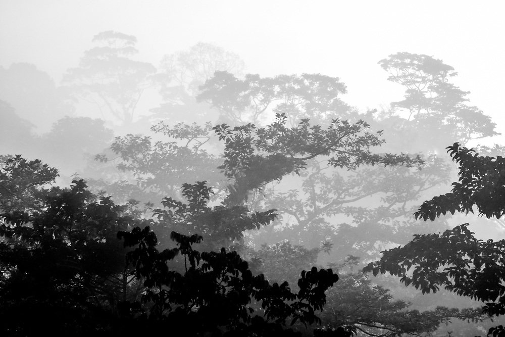Silhouette of the jungle tree canopy disappearing into the mist