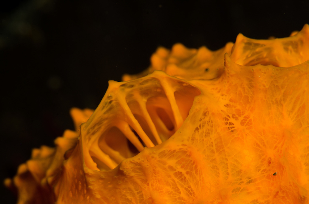 Orange Golfball Sponge
