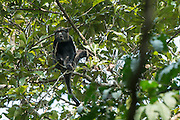 Putty-nosed monkey (Cercopithecus nictitans)<br /> Ngaga Camp<br /> Republic of Congo (Congo - Brazzaville)<br /> AFRICA<br /> HABITAT & RANGE: Savannah & rain forests of West Africa