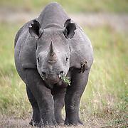 Mara, black rhino cow