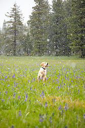 """""""Puppy in Snowy Sagehen Meadows 1"""" - Photograph of a Golden Retriever puppy """"Quill"""" playing in the snow and Camas wildflowers at Sagehen Meadows, a little north of Truckee, California."""