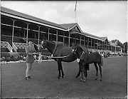"""02/08/1960<br /> 08/02/1960<br /> 02 August 1960<br /> R.D.S Horse Show Dublin (Tuesday). Mrs G.W. Wilson, Pidgeonstown, Co. Antrim, with mare """"Jungle Mill"""" and colt foal, 1st prize winner in Thoroughbred mares at the Dublin Horse Show."""