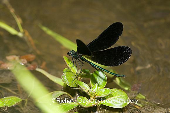 06014-002.07 Ebony Jewelwing (Calopteryx maculata) male displaying, Lawrence Co. IL