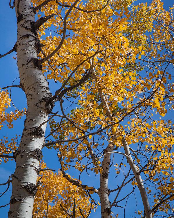 Aspens, near Evergreen, Colorado