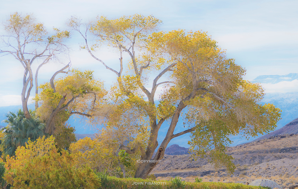 Cottonwood Tree at Scotty's Castle, Death Valley National Park, California