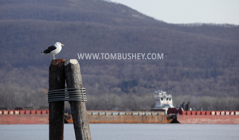 Newburgh, New York  - A great black-backed gull (Larus marinus) perches on a pier in the Hudson River as a  tugboat pushes barges upriver in the background on Dec. 29, 2011. ©Tom Bushey / The Image Works