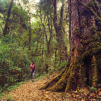 A hiker passes massive trees in remote Tsangpo Gorge, one of earth's deepest canyons.