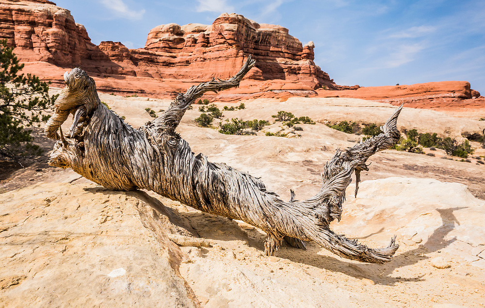 An old Juniper tree's twisted and slowly decaying remains on a sandstone shelf, Canyonlands National Park, Utah, USA.