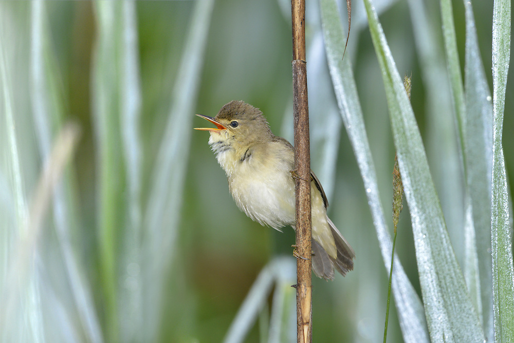 Marsh Warbler Acrocephalus palustris (L 13-14cm) is very similar to a Reed Warbler and the best way to separate the two is by song: a Marsh' is rich and varied, including amazing mimicry of both other European songsters and species learnt in its African wintering grounds. It also favours subtly different habitats, namely rank waterside vegetation (including nettles and brambles) rather than reedebeds. On close inspection, subtle plumage and structural differences also exist between the two species. An adult Marsh has grey-brown upperparts (not 'warm') including the rump, and pale underparts suffused yellow-buff. The legs are pinkish (not dark) and the soles of the feet look yellowish. The species is a rare summer visitor and just a handful of pairs breed.