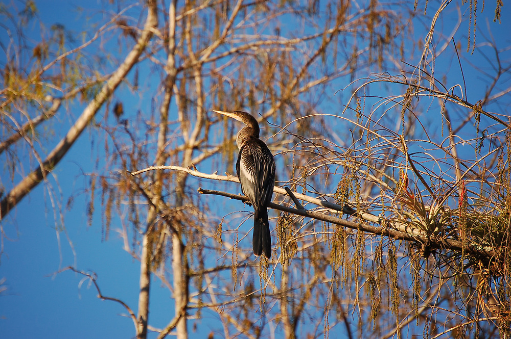 Also known as the snakebird, the anhinga is a common and very effective fish-hunter found along the coasts and interior of Florida and as far south as the Southern Amazon in Brazil. This male was spotted perched in a bald cypress tree in the Big Cypress National Preserve in Southwest Florida.