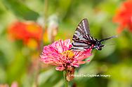 03006-00320 Zebra Swallowtail (Protographium marcellus) on Zinnia Union Co. IL