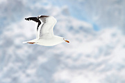 Adult kelp gull (Larus dominicanus) in flight. Photographed in Neko Harbour, Antarctica
