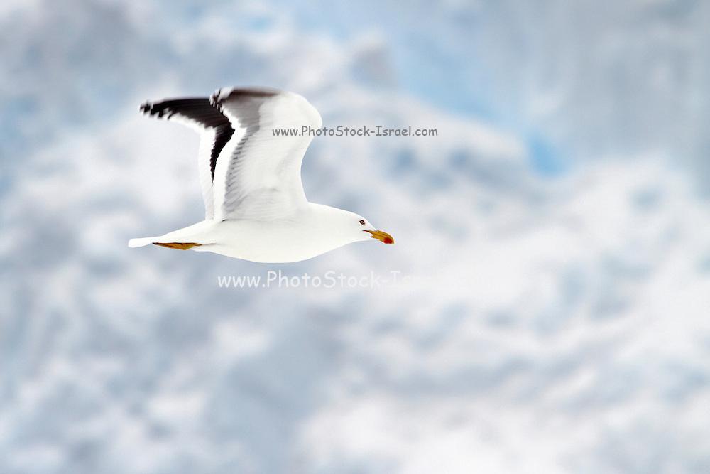 Adult kelp gull (Larus dominicanus) in flight. Photographed in Neko Harbour, Antarctica