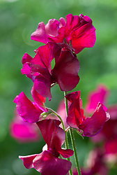 Lathyrus odoratus 'Lovejoy' - Sweet Pea