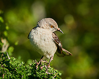 Northern Mockingbird (Mimus polyglottos). Campos Viejos, Texas. Image taken with a Nikon D800 camera and 400 mm f/2.8 lens.