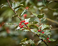 Holly Berries. Backyard Winter Nature in New Jersey. Image taken with a Nikon D2xs camera and 70-200 mm f/2.8 lens (ISO 400, 200 mm, f/2.8, 1/200 sec).