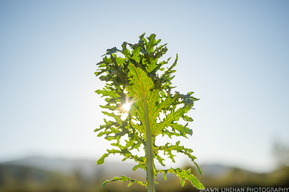 A leaf from a line of Gulag Stars kale from Adaptive Seeds