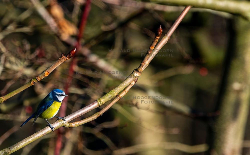 20-01-2019 NED: Birdwatch around your garden, Maarssen<br /> Pimpelmees (Cyanistes caeruleus)