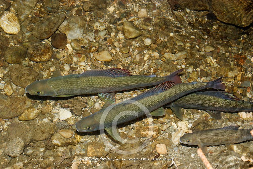 Thymallus thymallus, Common Grayling shortly before mating, Äschen vor der Paarung