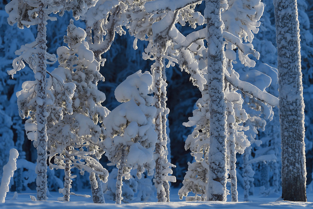Frost winter, snow-clad pine trees, Pinus silvestris, at minus - 30 C in the boreal Taiga forest Kalvtrask, Västerbotten, Lapland, Sweden