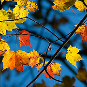 Red and yellow maple leaves in a Massachusetts forest.