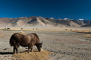 A yak rests after making a journey from Thukje settlement to the western side of Tso Kar Lake