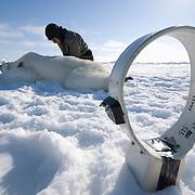Geoff York, USGS biologist, collecting data from a polar bear (Ursus maritimus)  on the Beaufort Sea ice. This female bear will receive a radio collar for future tracking.  Kaktovik, Alaska