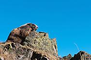 An Olympic Marmot (Marmota olympus) on top of Hurricane Hill, Hurricane Ridge, Olympic National Park.