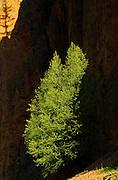 Tree and shadow. Sinclair Canyon<br /> Kootenay National Park<br /> British Columbia<br /> Canada